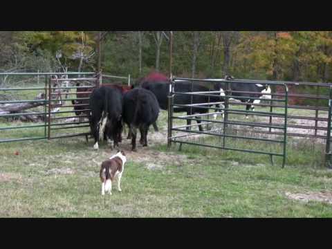 Border collie, Ruabinn, Penning Cattle