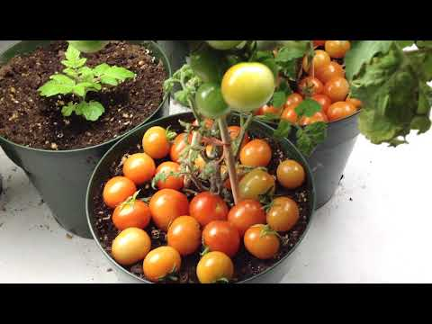 Rejina Red Micro Dwarf Tomato One Of The Best Producers!