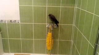 птица галка залетела в квартиру