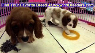 Cavalier King Charles Spaniel, Puppies, For, Sale, In, Wichita, Kansas, Ks, Pittsburg, Hays, Liberal