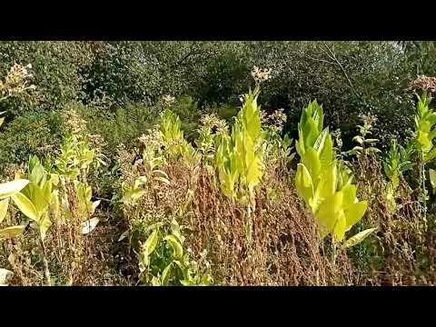 Весь урожай в один мешок.Последняя ломка Табака 2020 год.