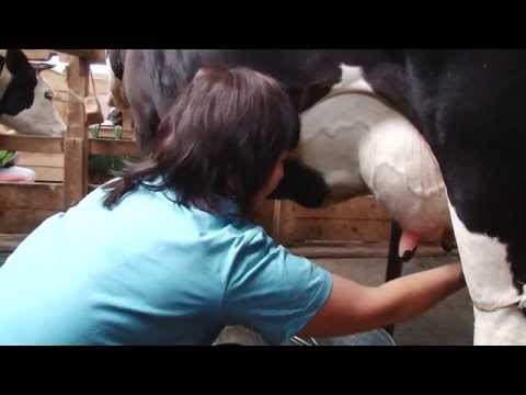 можно ли доить корову в майнкрафт