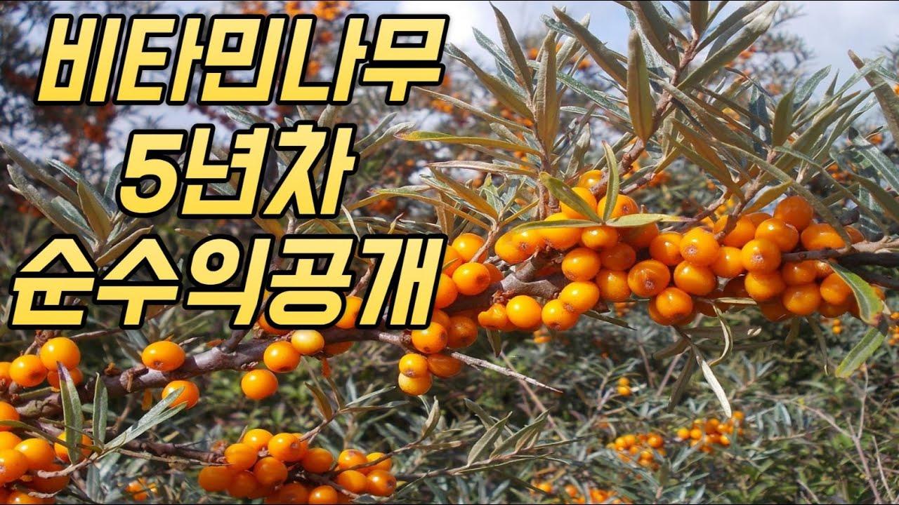 비타민나무 3가지를 모르면 심지 마세요! (feat. 수확부터 판매까지)