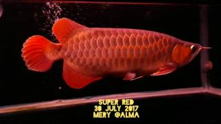 My Spoonhead Super Red Arowana after Tanning