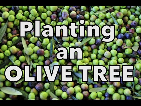 Planting an Olive Tree - YouTube