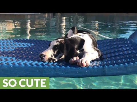 Great Dane puppy chills out in the pool