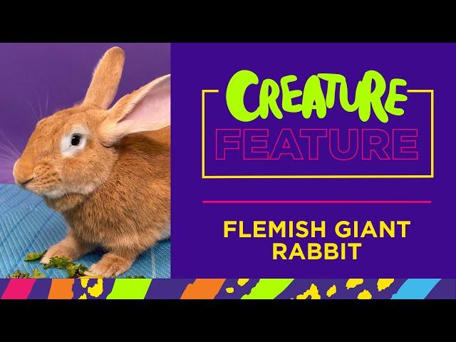 Creature Feature: Featuring Sandor, the Flemish Giant Rabbit!