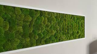 Preserved greenhill pole moss. Moss cushion wall moss ball