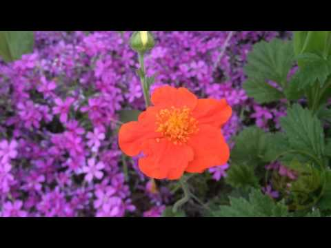 Цветок гравилат