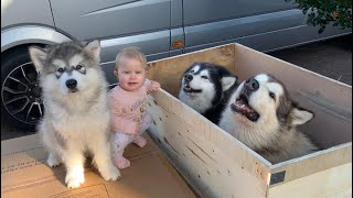 Special Delivery! Malamutes Love Boxes! (Cutest Baby!)