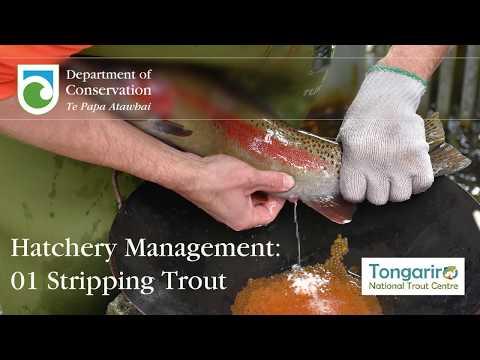 Trout Hatchery Management: Trout Stripping