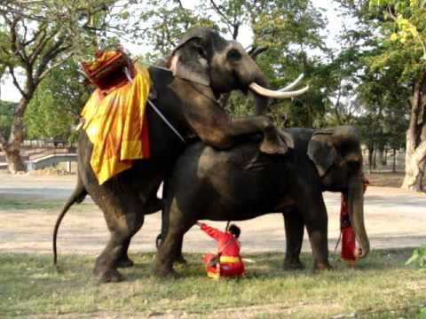 Video rinoceronte en apareamiento - Animales salvajes apareandose ...