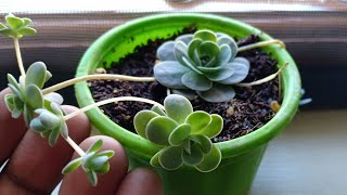 Rare Succulents: The Chinese Dunce Cap plant care
