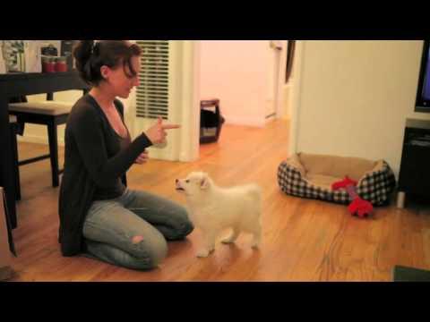 Princess Zelda Tricks (American Eskimo Dog) 9 Weeks