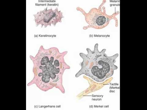 Keratinocytes, Melanocytes, Merkel cells, Langerhans cells - YouTube - Keratinocytes