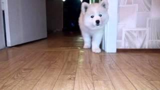 Самоед (2 месяца) .Смешная собака