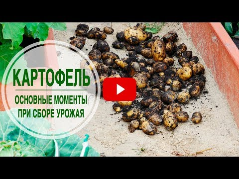 Когда и как выкапывать картофель? 🌟 Собираем урожай вместе с hitsadTV