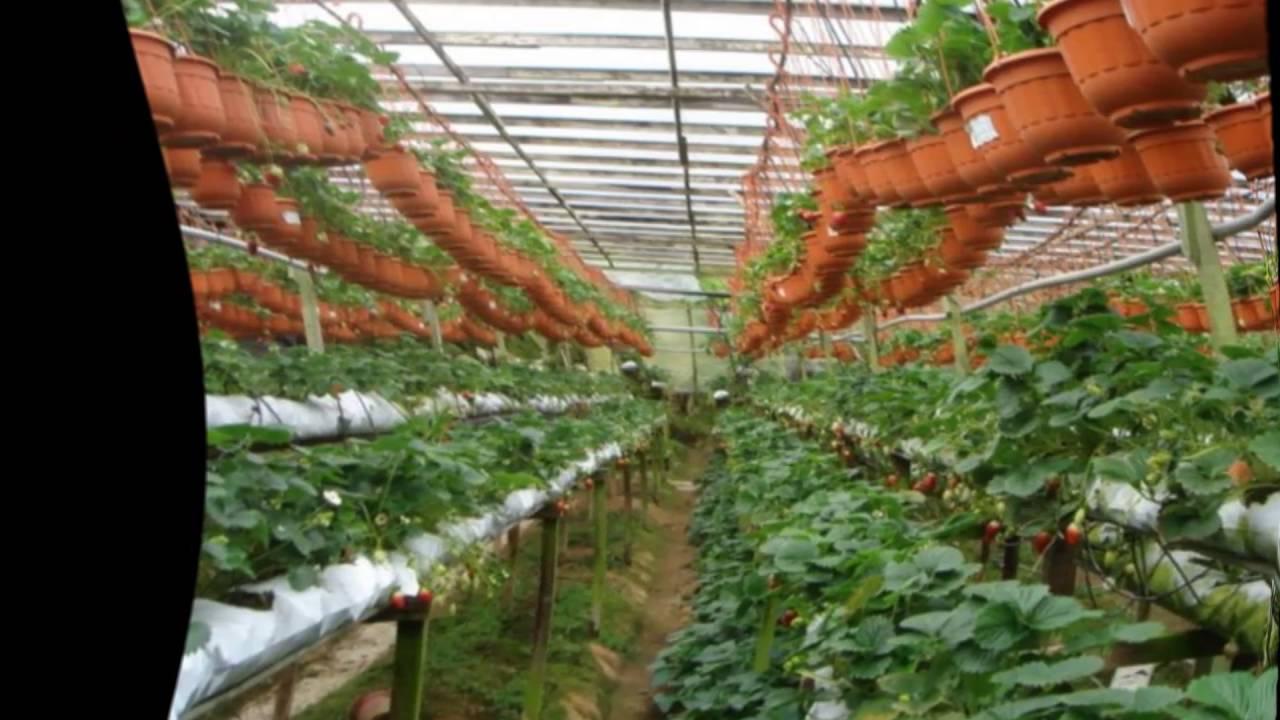 Промышленная теплица для выращивания клубники 251