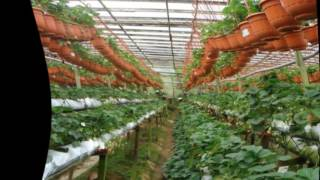 Выращивание клубники в теплице(выращивание клубники в теплице круглый год.технология выращивания клубники в теплице.выращивание клубник..., 2016-06-24T20:45:19.000Z)