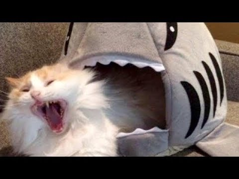 LAUGH SO HARD YOU'LL CRY - Funniest CAT VIDEOS compilation ... Funny Videos Cats