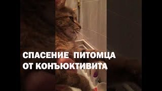 Конъюнктивит у кошки. Лечение конъюнктивита питомца народными средствами в домашних условиях