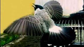 Suitan Burung Kutilang Edan Gacor Gak Mau Diam