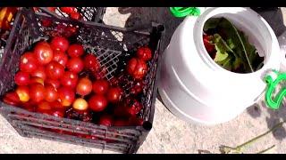 Бочковые помидоры - Как солить помидоры в бочке