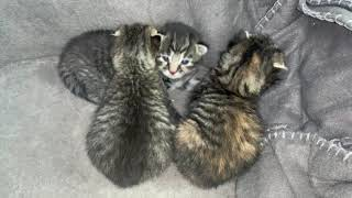 Newborn kittens. Only 14 day old