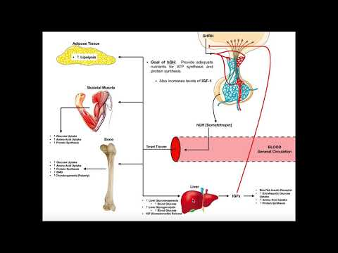 Specific Hormones   Functions of Growth Hormone (hGH)