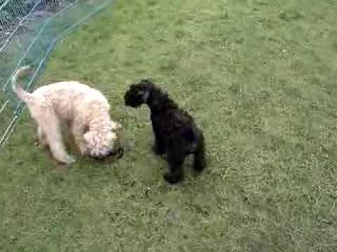 Kerry Blue Puppy socialising with a Wheaten puppy