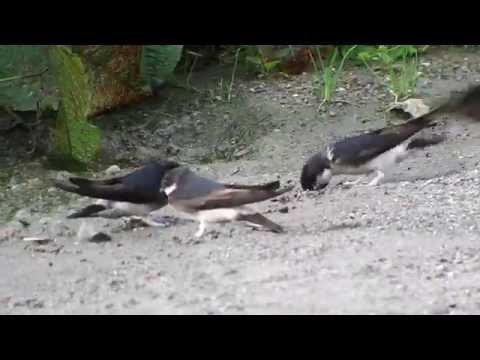 東方毛腳燕 Asian House-Martin, Delichon dasypus