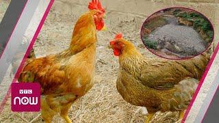 """Thải 50 tấn phân gà mỗi ngày: """"Đầu độc"""" không khí"""