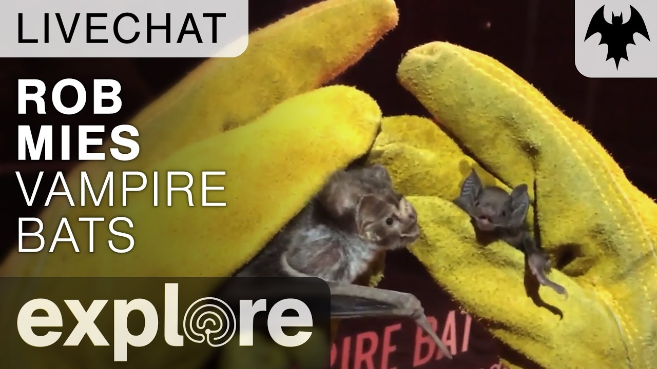 Vampire Bats With Rob Mies - Organization For Bat Conservation - Live Chat