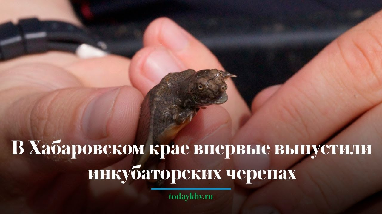 В Хабаровском крае выпустили инкубаторских черепах