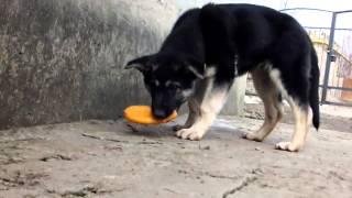 ВЕО щенок Орфей 4 месяца