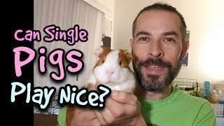 Should a Single Guinea  Pig Play With Other Pigs?