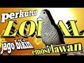 Perkutut Lokal Jago Bikin Emosi Lawan Naik Cocok Buat Perkutut Macet Bunyi  Mp3 - Mp4 Download