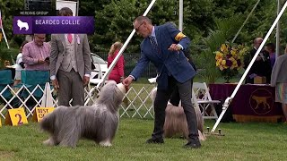 Bearded Collies | Breed Judging 2021