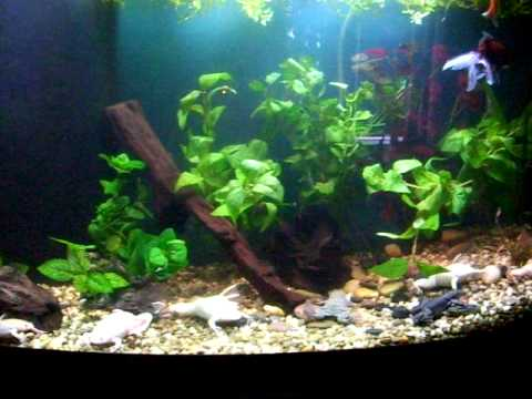 72 gallon african clawed frog tank youtube for Fish tank frogs