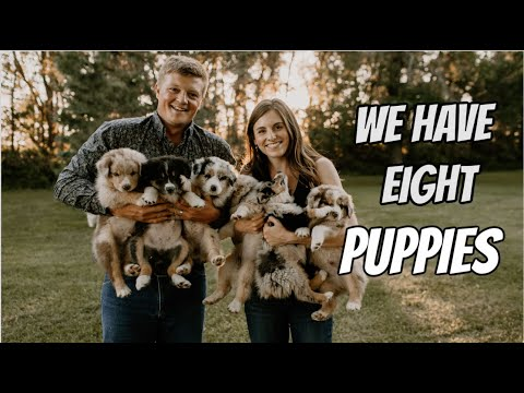 WE HAVE EIGHT AUSTRALIAN SHEPHERD PUPPIES // MEET OUR DOGS