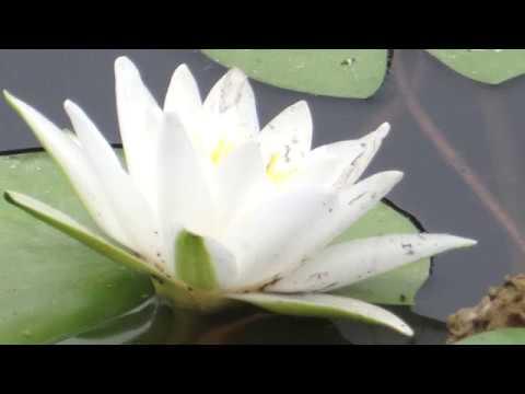 Царица прудов цветок белая кувшинка из Красной книги радует нас красотой в нашем ставке