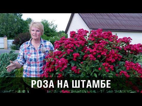 Штамбовая роза. Что обязательно знать выращивая розы на штамбе.