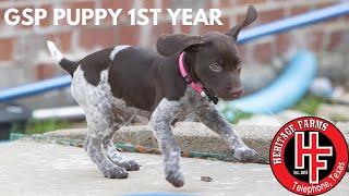 German Shorthaired Pointer Puppy  1 Year Video