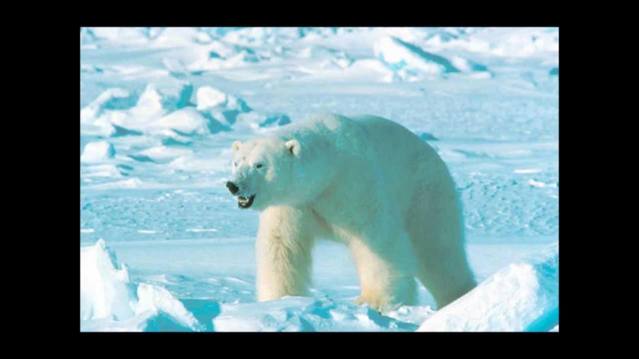 Siberian Tiger Vs Bear Maxresdefault.jpg