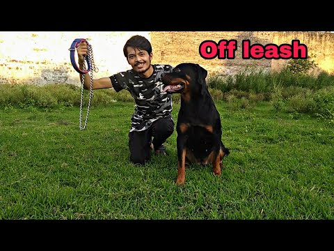 Off leash Dog Walk training in hindi || Stop leash pulling || Review reloaded
