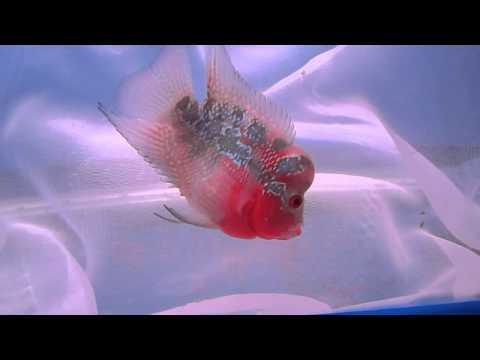 ปลาหมอสี แม่กลอง 1500 ตัวที่2