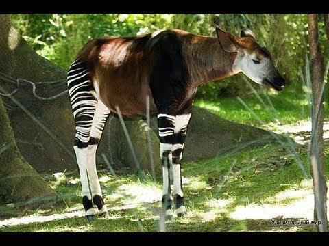 Окапи лесной жираф YouTube