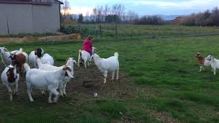 riding goats