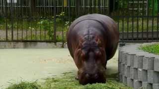 カバのザンの食事。 2014年7月7日撮影。 札幌市円山動物園にて。