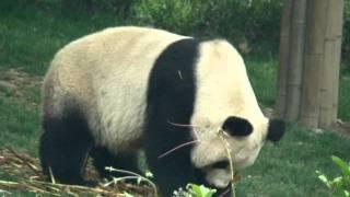 видео Большая панда редкого окраса